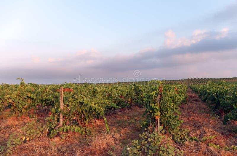 Vinyard in Korsika-Insel stockfotografie