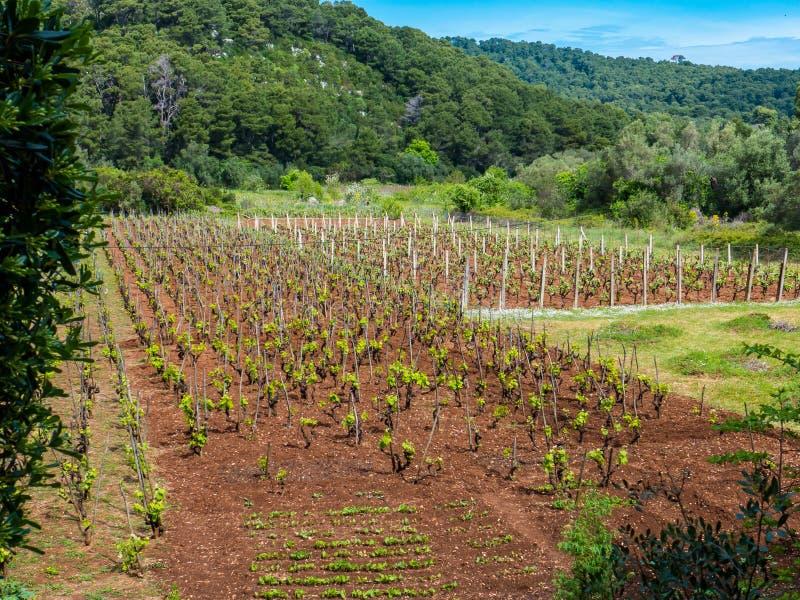 Vinyard. Landscape photo of a vinyard on a sunny day with blue sky above stock photo