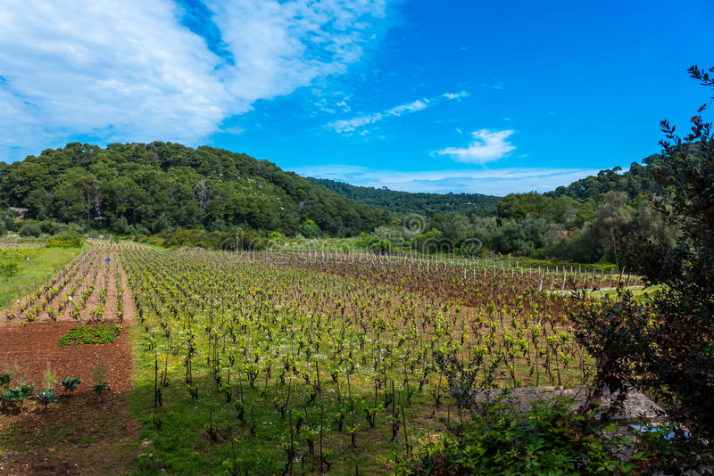 Vinyard. Landscape photo of a vinyard on a sunny day with blue sky above royalty free stock image