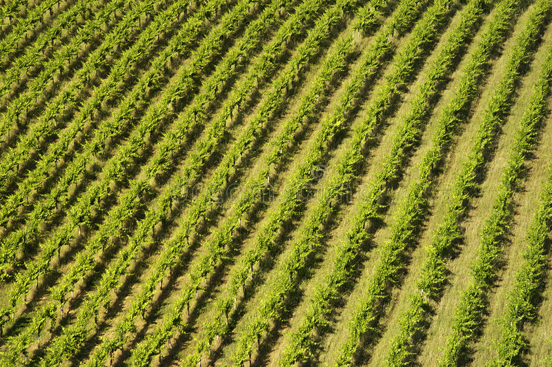 Vinyard lines. Large vinyard pattern from above stock images