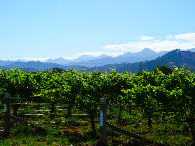 Vinyard with mountains, New Zealand royalty free stock image