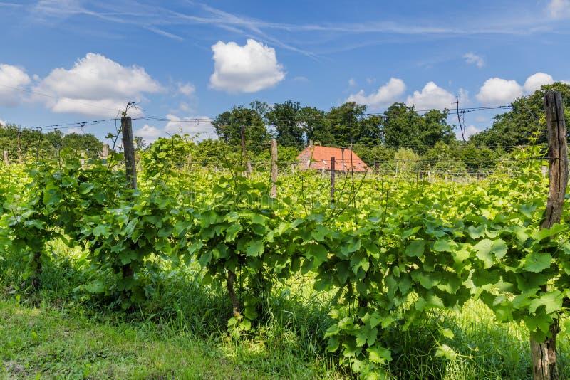 Vinyard in the Netherlands. Landscape with vinyard in the Netherlands stock photos