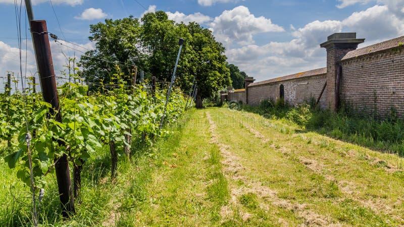 Vinyard in the Netherlands. Landscape with vinyard in the Netherlands stock images
