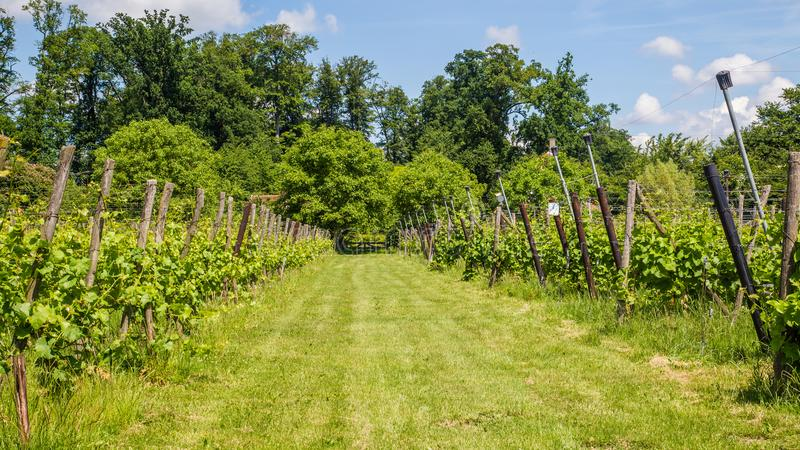 Vinyard in the Netherlands. Landscape with vinyard in the Netherlands stock image