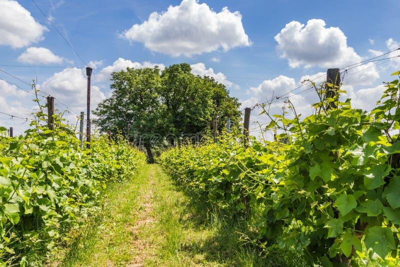 Vinyard in the Netherlands. Landscape with vinyard in the Netherlands royalty free stock photo