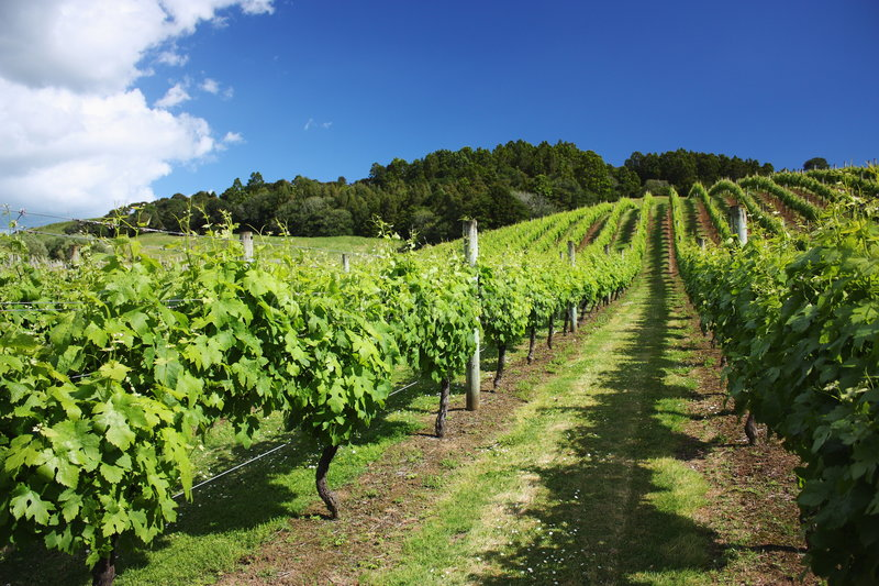 New Zealand Time Image: Vinyard In Summer Time, Auckland, New Zealand Stock Image