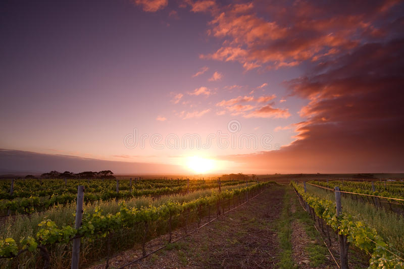 Vinyard Sunrise. Photo of a Vinyard at sunrise in the Western Cape South-Africa stock image