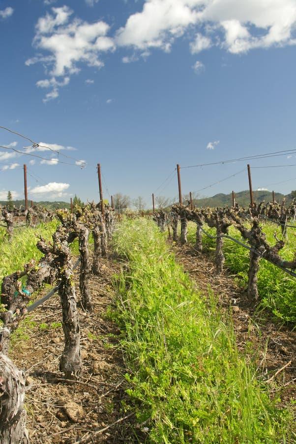 Vinyards in primavera, CA, S.U.A. del Napa Valley immagini stock