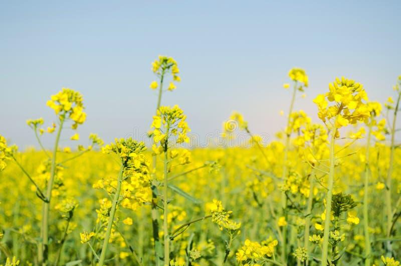 viol Gisement de graine de colza pendant la floraison Famille de chou Culture de graine ol?agineuse Agriculture affermage photo libre de droits