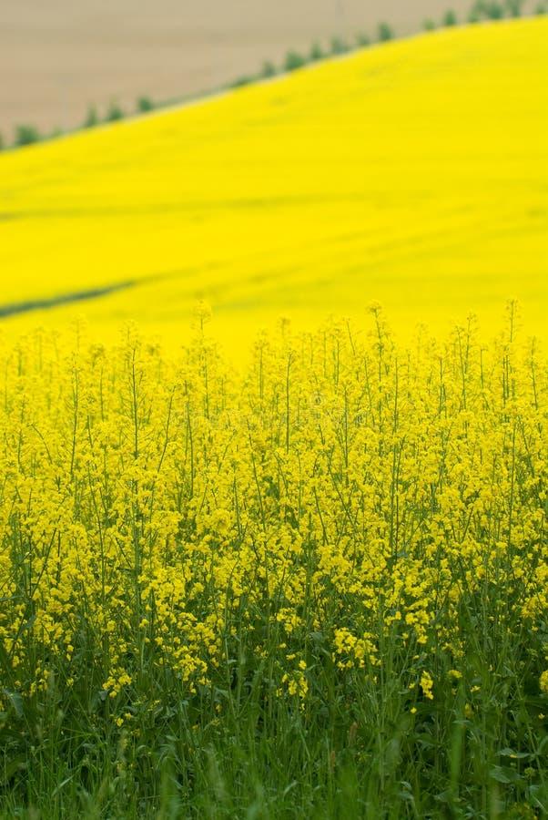 Viol jaune image libre de droits