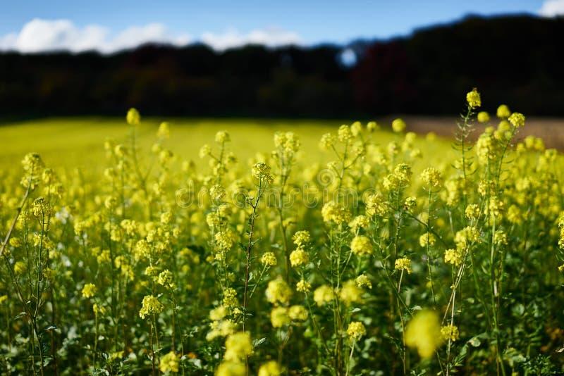 Viol jaune sur un champ en Allemagne images stock