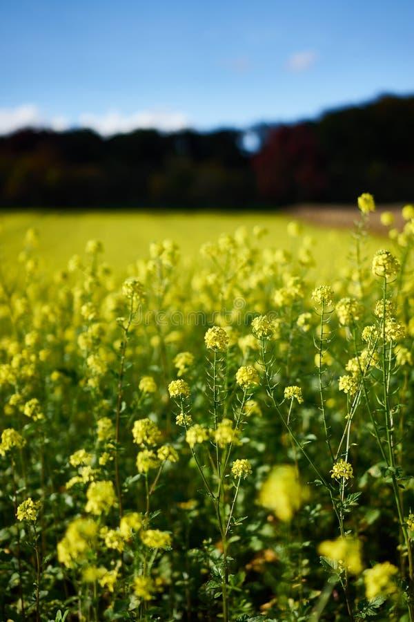 Viol jaune sur un champ en Allemagne photos libres de droits