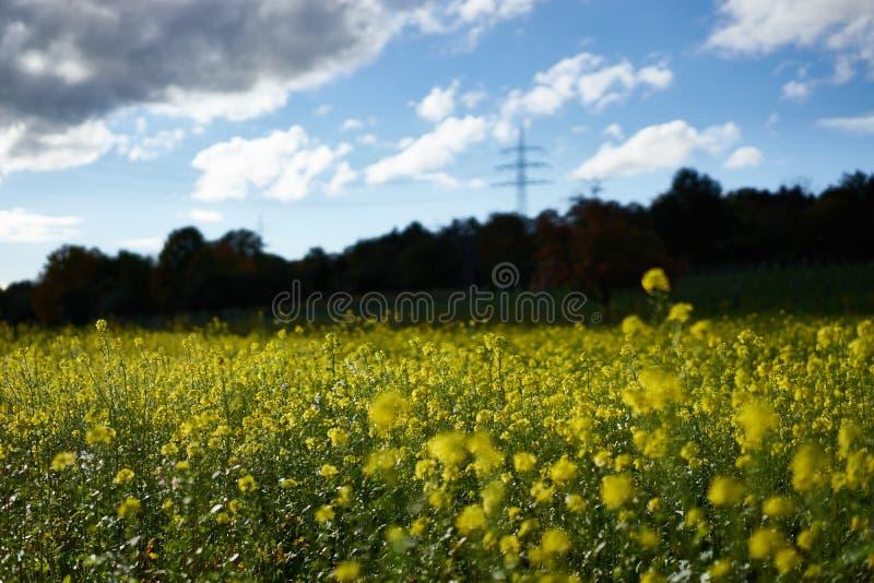 Viol jaune sur un champ en Allemagne photo stock