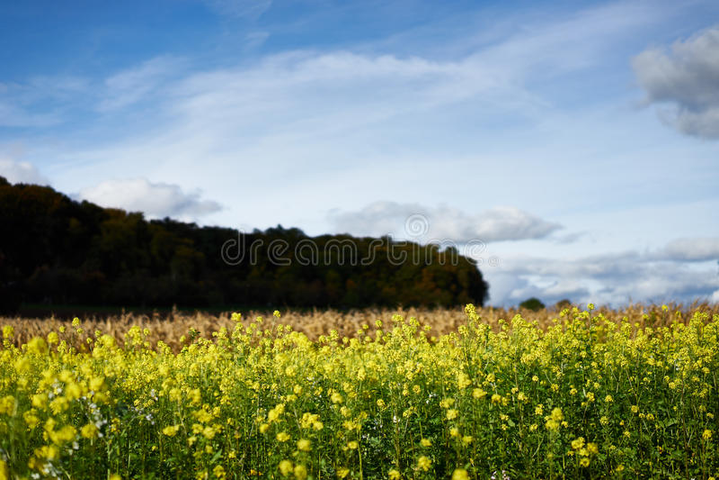 Viol jaune sur un champ en Allemagne image libre de droits