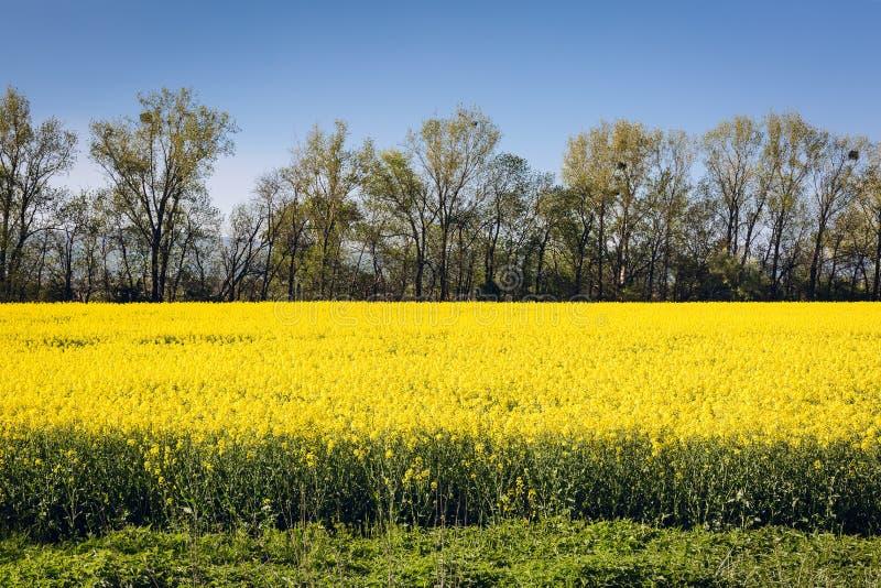 Violação de semente oleaginosa no campo imagens de stock royalty free