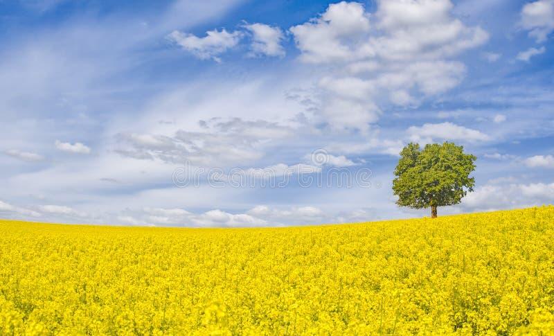 Violação e árvore de florescência imagens de stock royalty free