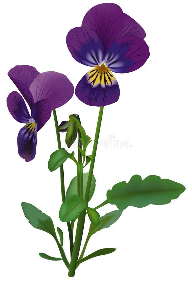 Viola royalty illustrazione gratis