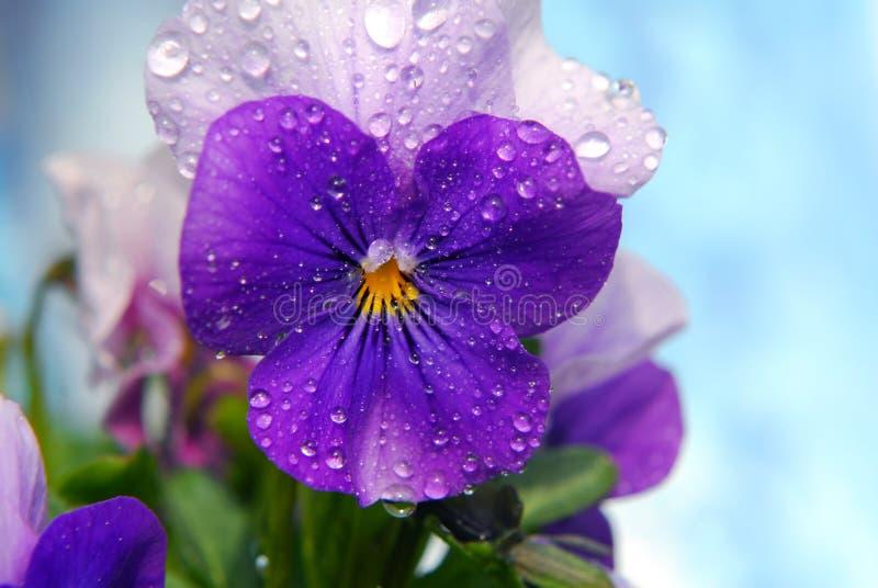 Viola lizenzfreies stockbild
