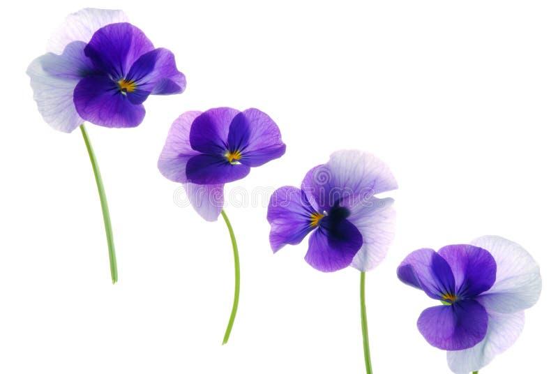 Viola stockfotografie