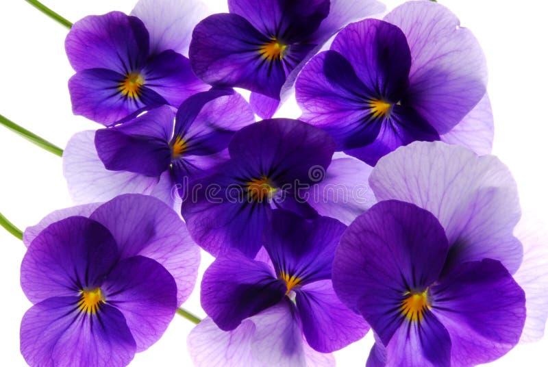 Viola stockfoto