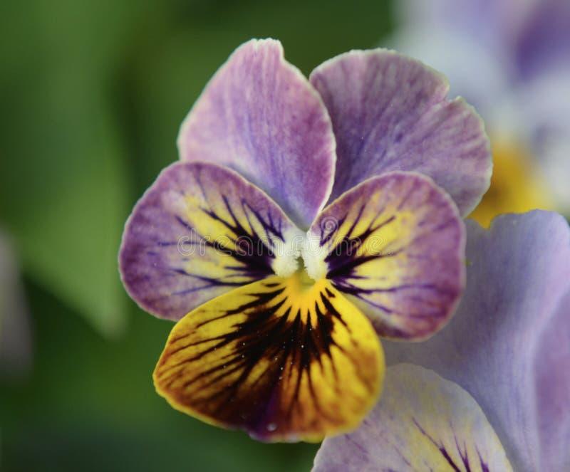 viola royalty-vrije stock fotografie