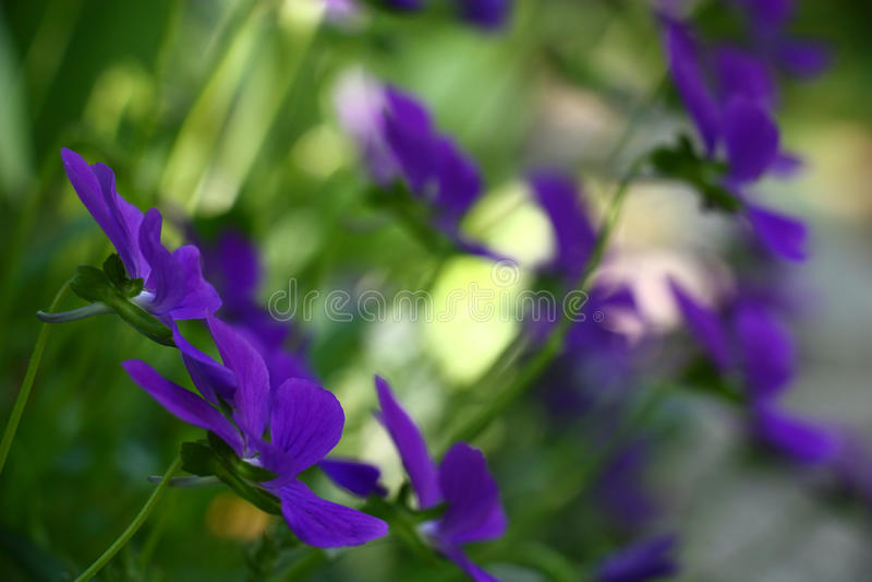 viola royalty-vrije stock afbeeldingen