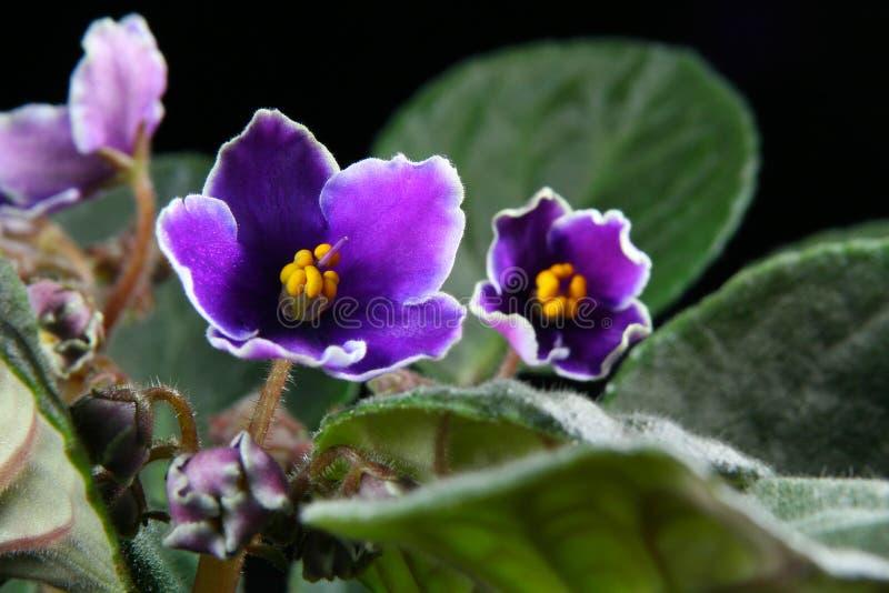 Viola africana (Saintpaulia) fotografia stock libera da diritti