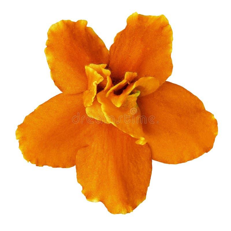 Viola alaranjada da flor interna isolada no fundo branco Close-up Macro Elemento do projeto foto de stock royalty free