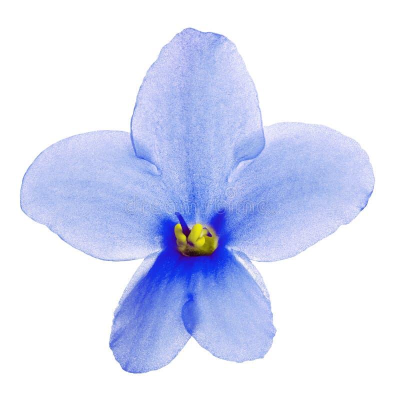 Viola amarela azul da flor interna isolada no fundo branco Close-up Macro Elemento do projeto fotografia de stock royalty free