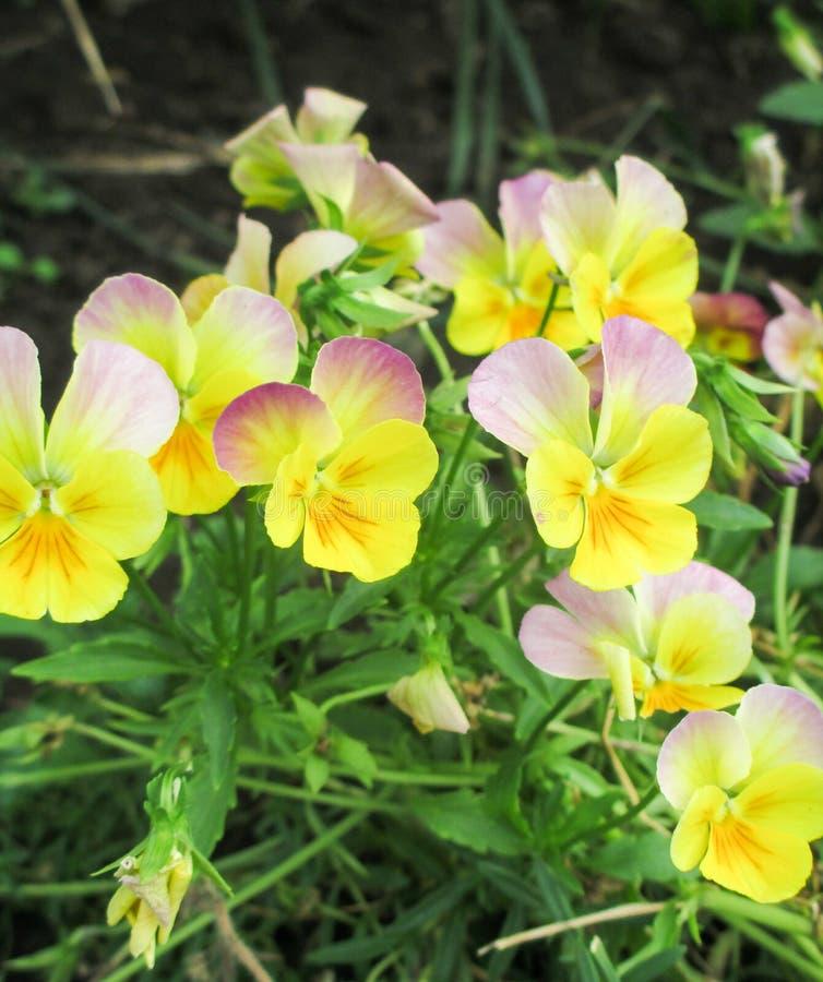 Viola amarela tricolor foto de stock