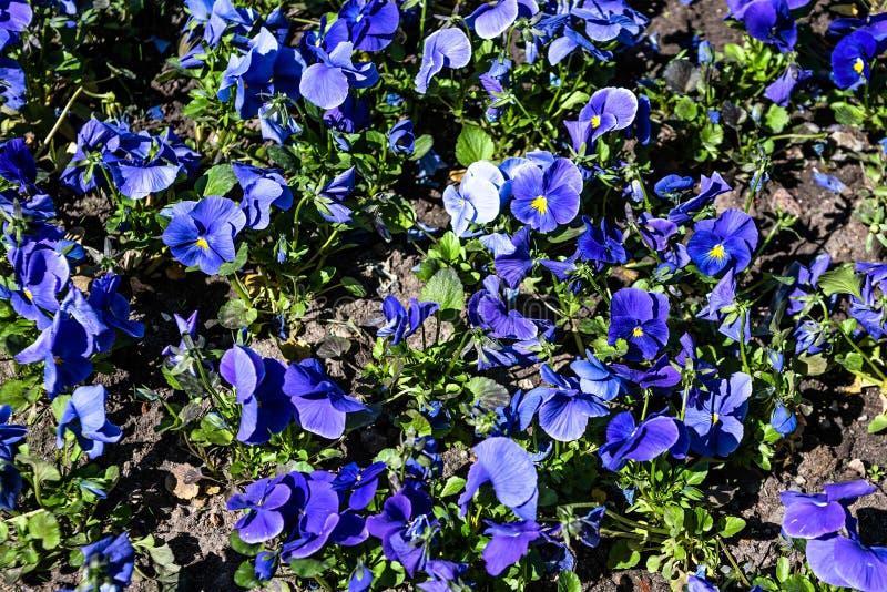 Viola azul con una base amarilla en una cama de flor imágenes de archivo libres de regalías