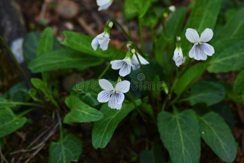 Viola betonicifolia var.albescens. Spring flowers / Viola betonicifolia var.albescens stock photography