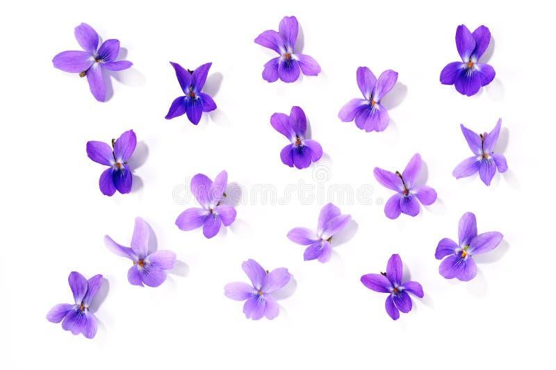 Viola blossoms stock image