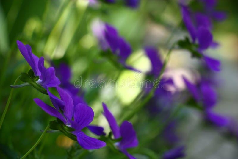 Viola. royalty free stock images