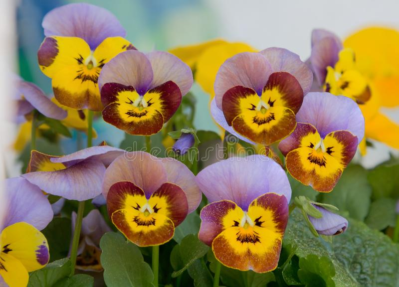 Viola blossoms with smiling faces royalty free stock photo