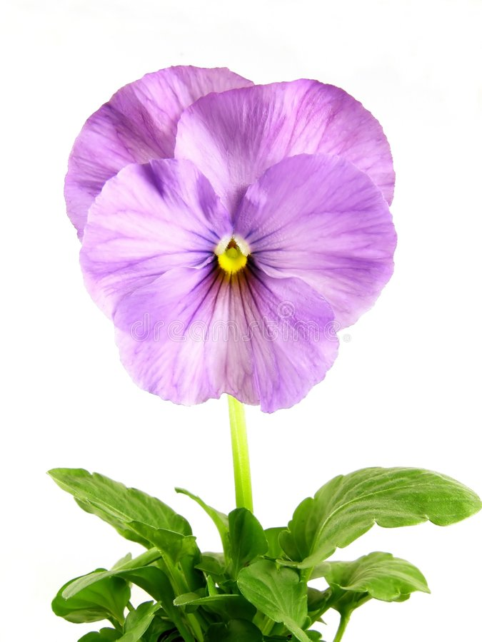 Viola blu fotografie stock libere da diritti