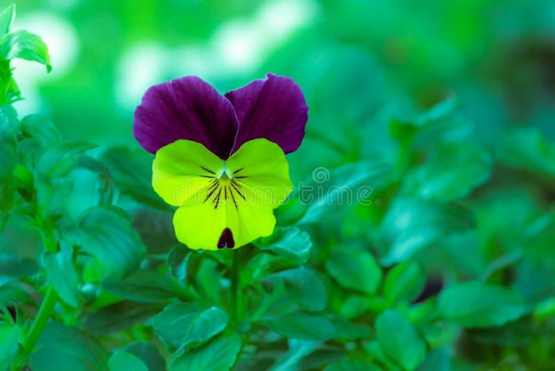 Viola royalty free stock images