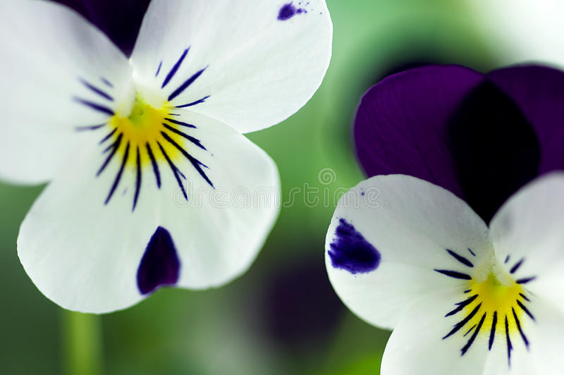 Viola Cornuta - Spring Perennials. Viola cornuta, commonly known as Sorbet, Coconut Duet are hardy early spring flowering plants that remain compact in both heat stock photo