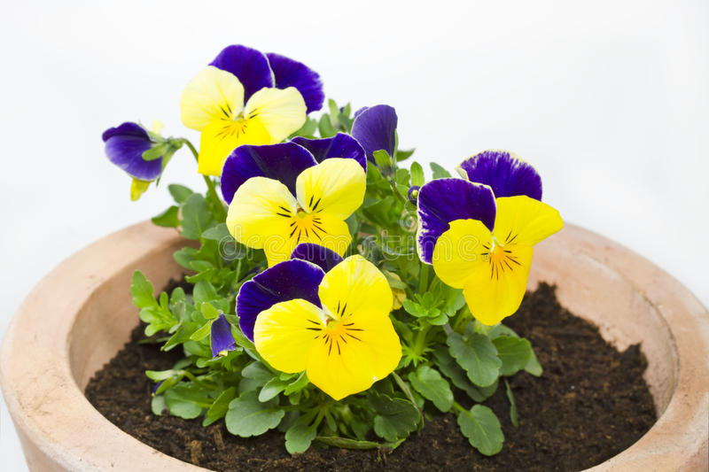 Viola cornuta flower in a pot. On white background royalty free stock photography