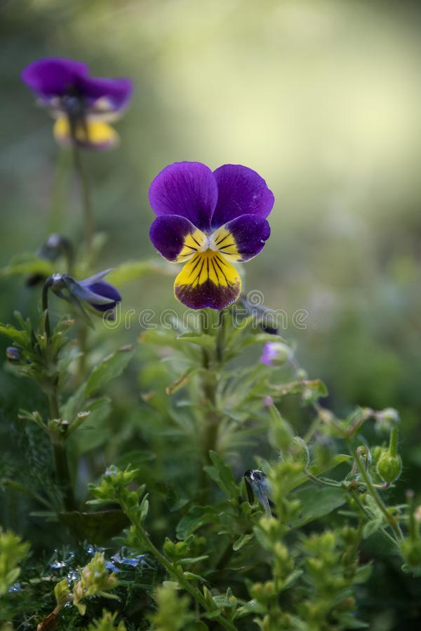 Viola cornuta, horned pansy, tufted pansy. Blue pansy viola flower in garden close up royalty free stock photography