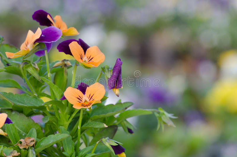 Viola cornuta. Horned pansy, tufted pansy royalty free stock photos