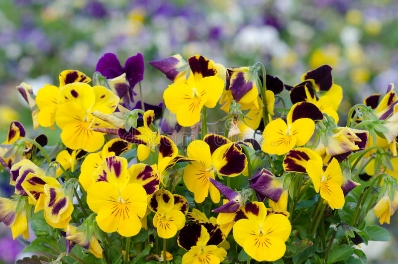 Viola cornuta. Horned pansy, tufted pansy stock images