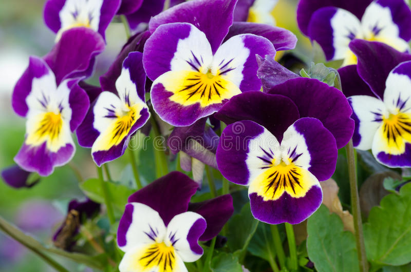 Viola cornuta. Horned pansy, tufted pansy royalty free stock photo