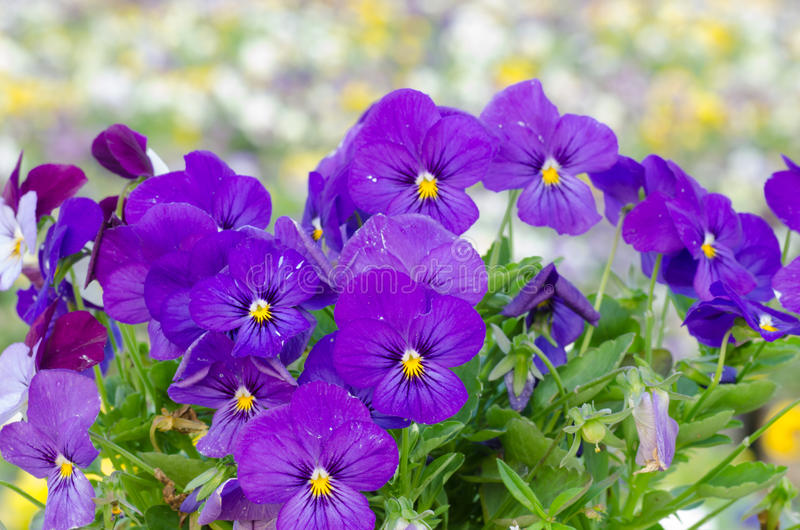 Viola cornuta. Horned pansy, tufted pansy royalty free stock image