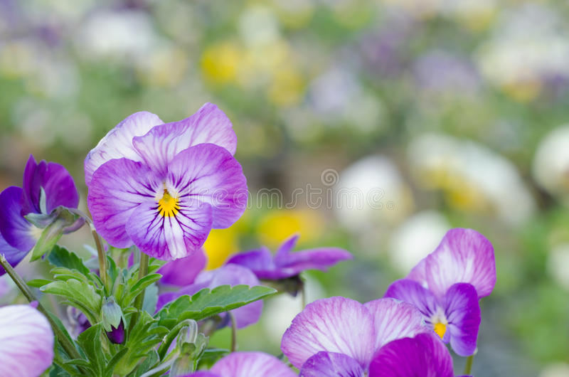 Viola cornuta. Horned pansy, tufted pansy royalty free stock photography