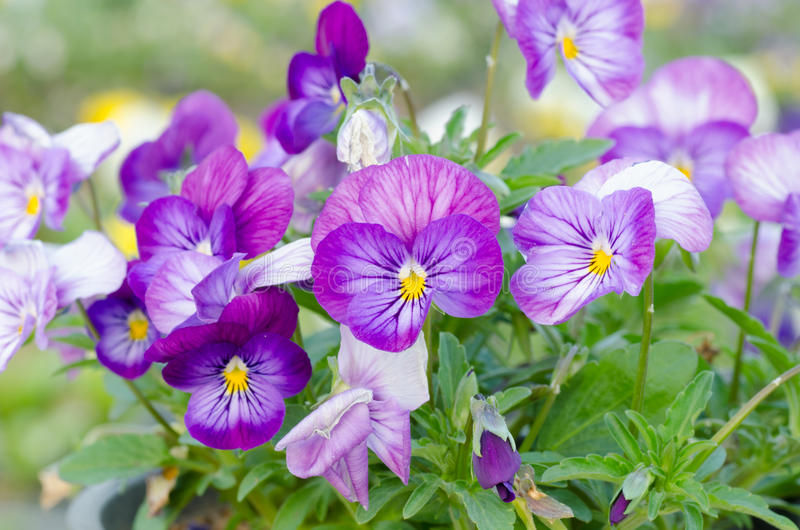 Viola cornuta. Horned pansy, tufted pansy stock image