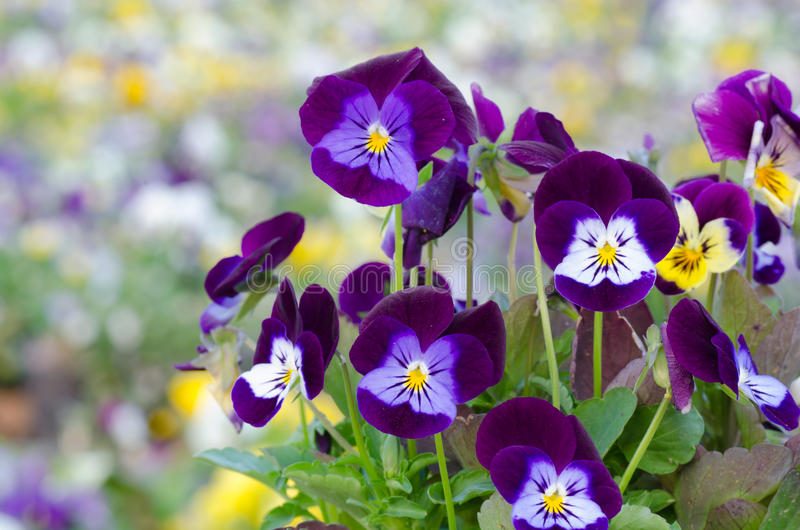 Viola cornuta. Horned pansy, tufted pansy stock photo