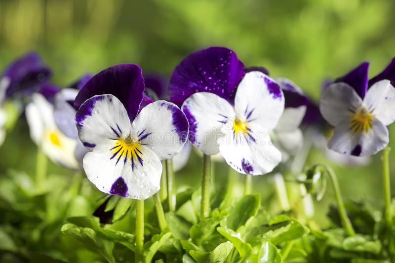 Viola Cornuta Pansies. With dew drops, green leaves in foreground and green bokeh blurred background. The petals of this pansy are edible and can be used in the stock photo