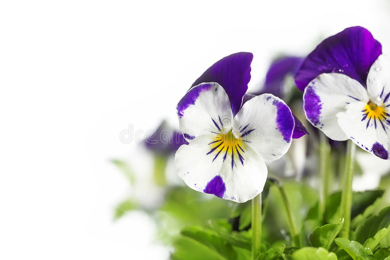 Viola Cornuta Pansy White Background. Viola cornuta pansy on white background. The petals of this pansy are edible and can be used in the food industry stock image
