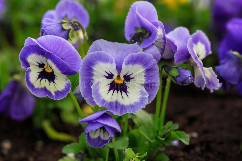 Viola cornuta, tufted pansy. Colorful flowers of violets.  royalty free stock photos